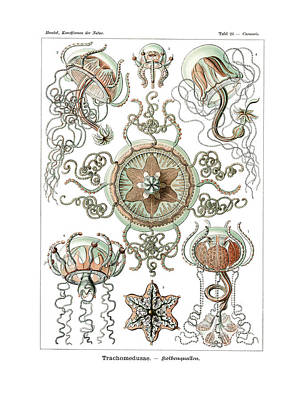 Art In Nature Drawing - Trachomedusae by Ernst Haeckel