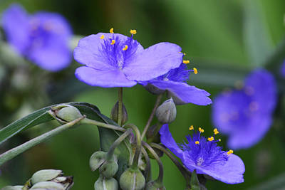 Photograph - Tradescantia Meditation by Kim Hymes