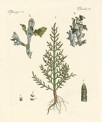 Prickly Drawing - Trading And Medicinal Plants by Splendid Art Prints