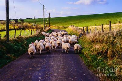 Pasture Scenes Digital Art - Traffic Jam Of Sheep by Thomas R Fletcher