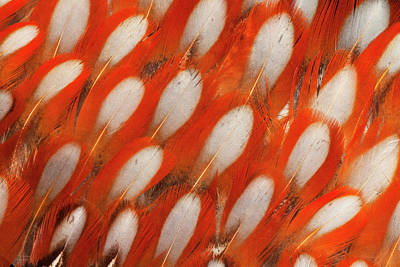 Silver-colored Photograph - Tragopan Feather Design And Fan Effect by Darrell Gulin