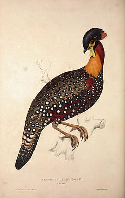 Asian Artist Drawing - Tragopan Hastingsii Male. Birds From The Himalaya Mountains by Quint Lox