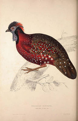 Pheasant Drawing - Tragopan Satyrus, Crimson Horned Pheasant by Quint Lox