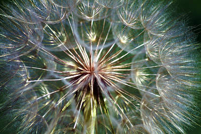 Photograph - Tragopogon Dubius Yellow Salsify Flower Fruit Seed by Karon Melillo DeVega