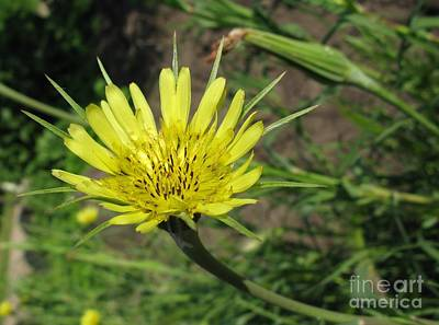 Photograph - Tragopogon Pratensis Or Goats Beard by Ausra Huntington nee Paulauskaite
