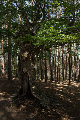 Treeroots Photograph - Trail Guardian - An Ancient Beech Tree In A Pine Forest by Georgia Mizuleva