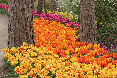 Trail Of Tulips Art Print