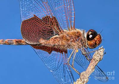Photograph - Tramea Carolina Dragonfly by Olga Hamilton