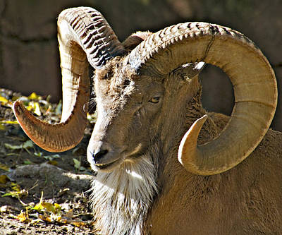 Photograph - Transcaspian Urial Ram by Walter Herrit