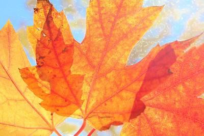 Photograph - Translucent Autumn by Diane Alexander