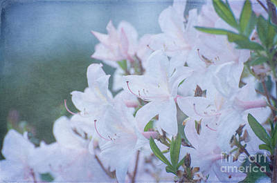 Photograph - Translucent Blossoms by Bianca Nadeau