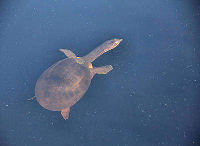 Cooter Photograph - Translucent Turtle by Rosalie Scanlon