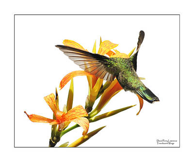 Photograph - Translucent Wings by David Perry Lawrence
