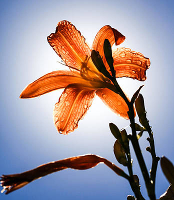 Lillies Photograph - Transparency by Aaron Aldrich
