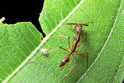 Brown Leaves Photograph - Trap-jaw Ant by Dr Morley Read