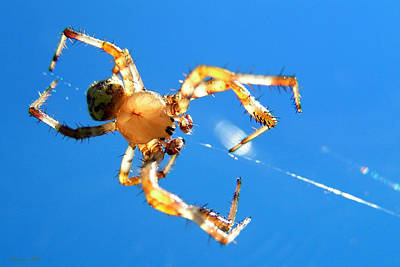 Photograph - Trapeze Spider by Christina Rollo