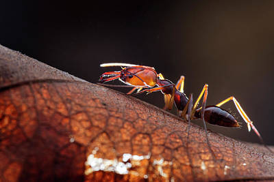 Ant Wall Art - Photograph - Trapjaw Ant by Melvyn Yeo