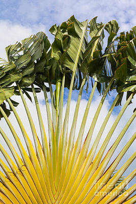Photograph - Traveler's Palm by Diane Macdonald