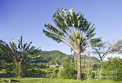 Madagascar Photograph - Travellers Palm Ravenala Madagascariensis by Liz Leyden