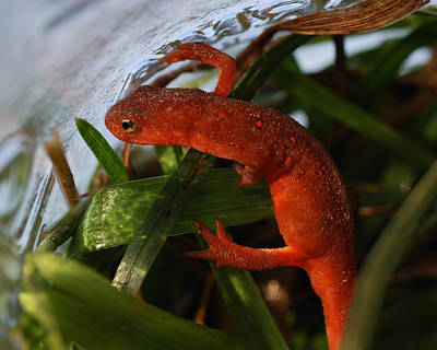 Newts Photograph - Travels Of A Newt by Susan Capuano