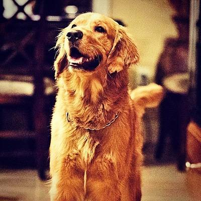 Golden Photograph - Treat Time #tucker #mansbestfriend by Scott Pellegrin