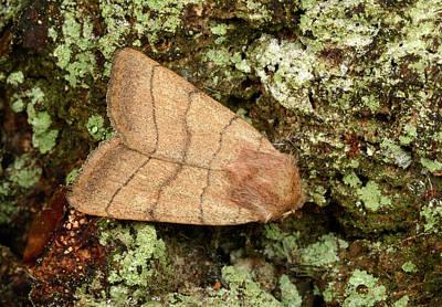 Treble Photograph - Treble-lines Moth by Nigel Downer