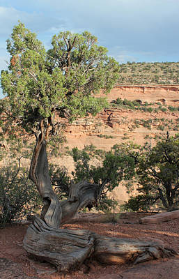 Photograph - Tree 2 Colorado National Monument by Mary Bedy