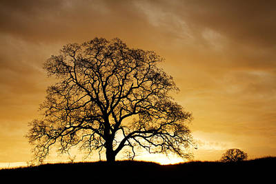 Photograph - Tree At Golden Sunrise by Robert Woodward