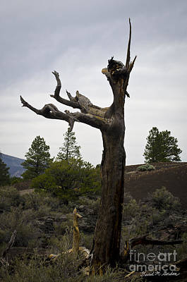 Photograph - Tree At Lava Trail by David Gordon
