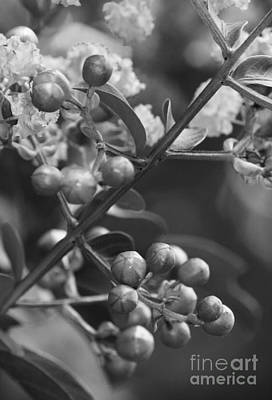 Photograph - Tree Blossoms In Black And White by Jackie Farnsworth