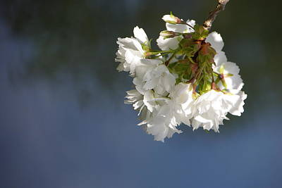 Art Print featuring the photograph Tree Blossoms by Marilyn Wilson