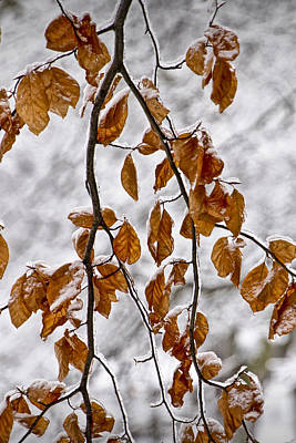 Photograph - Tree Branch And Leaves With Winter Snowfall In Garfield Park No. 1084 by Randall Nyhof