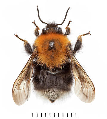 Tree Bumblebee Art Print