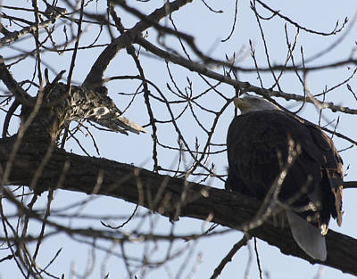 Tree Eagle Art Print by Valerie Wolf