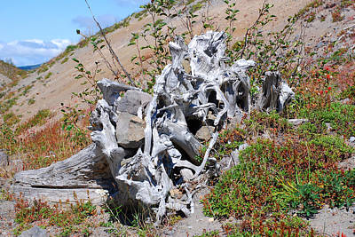 Photograph - Tree Entangled With Rocks. Mount St. Helens 2012 by Connie Fox