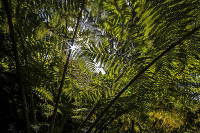 Tree Fern At Queen Charlotte Track Art Print by Nigel Forster