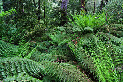 Primeval Photograph - Tree Fern In Melba Gully, Great Otway by Martin Zwick