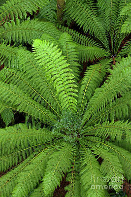 Photograph - Tree Fern In Otway Natl Park by Yva Momatiuk and John Eastcott