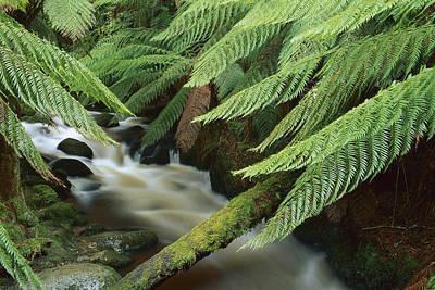 Tree Fern Over Stream Tasmania Art Print by Shaun Barnett