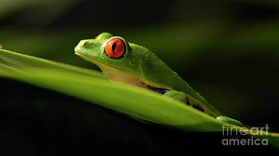 Tree Frog 7 Art Print by Bob Christopher
