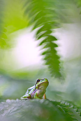 Frogs Photograph - tree frog Hyla arborea by Dirk Ercken