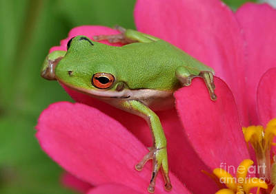 Photograph - Tree Frog On A Pink Flower by Kathy Baccari