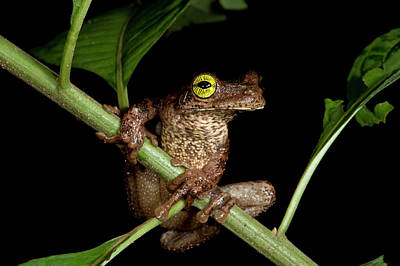 Frog Photograph - Tree Frog (osteocephalus Taurinus by Pete Oxford