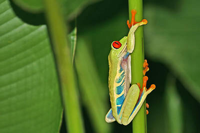 Photograph - Tree Frog by Peggy Collins