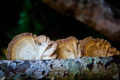 Photograph - Tree Fungus by Carole Hinding