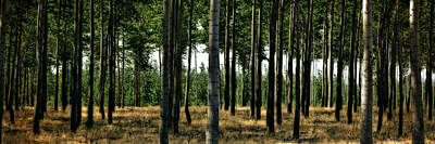 Birch Trees Photograph - Tree Grove In Sunlight by Michelle Calkins