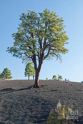 Photograph - Tree Growing In Ash In Sunset Crater Volcano National Monument by Fred Stearns
