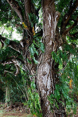 Photograph - Tree In Kauai by Suzanne Luft