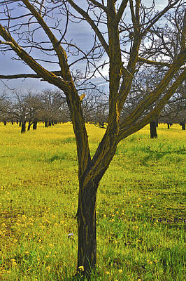 Photograph - Tree In Mustard Field by SC Heffner