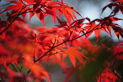 Photograph - Tree In Passion. Japanese Maple by Jenny Rainbow